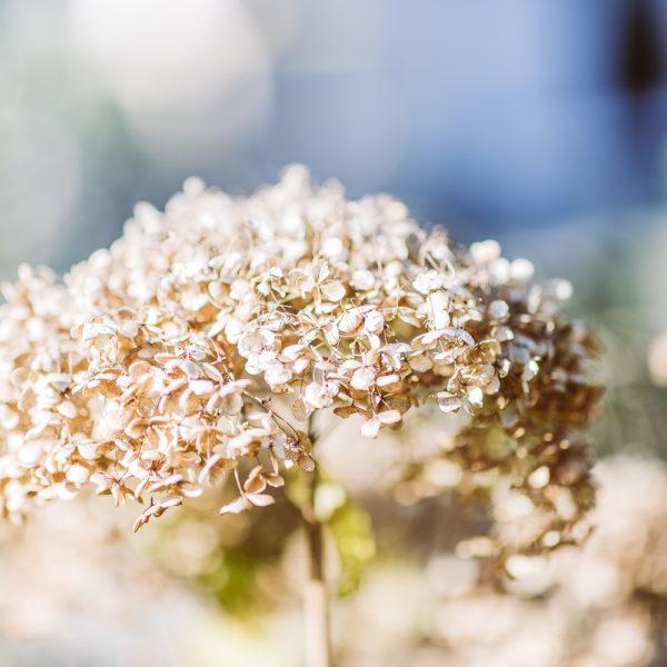 Goldener Oktober oder mein Herbstgarten, Pomponetti