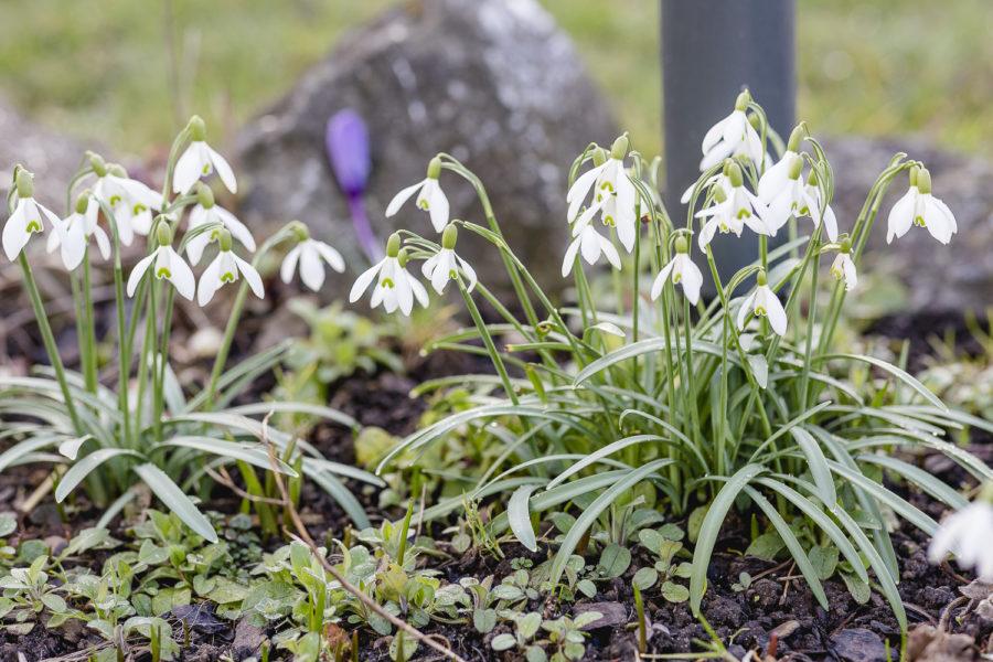 Frühlingsgarten Mitte März, Pomponetti
