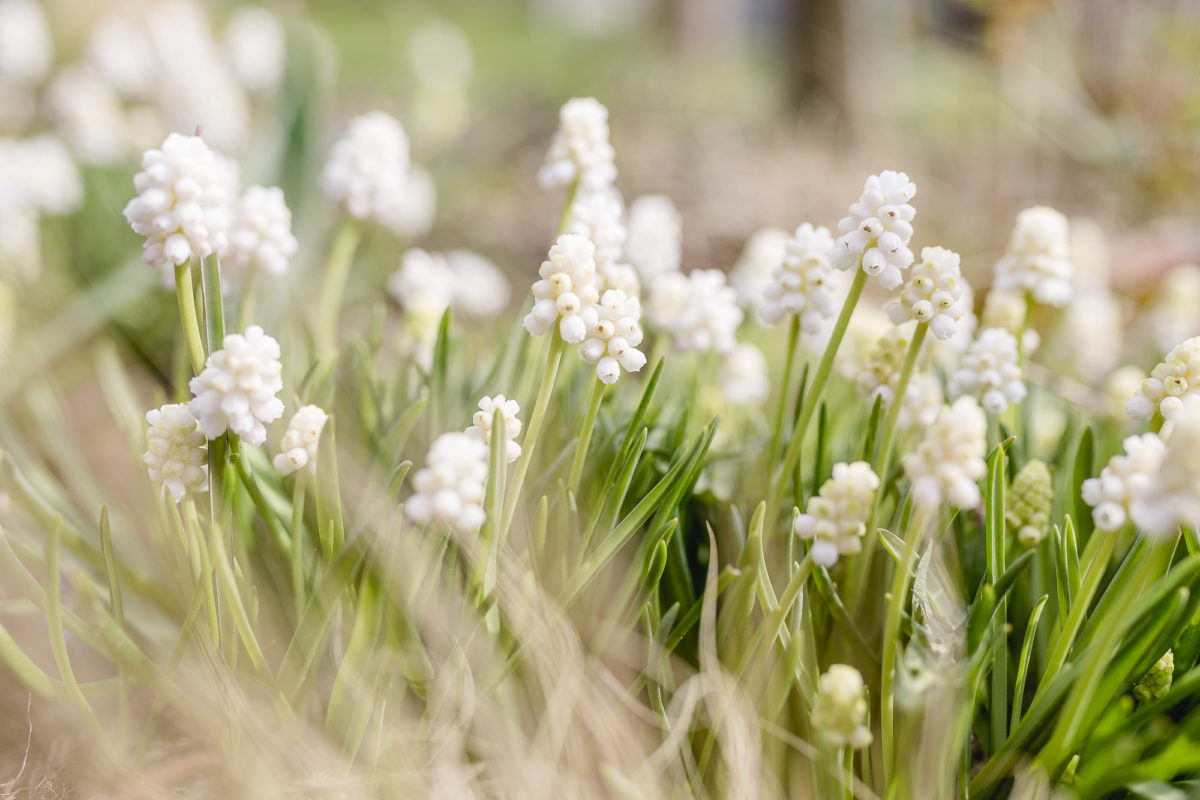 Frühlingsgarten oder wenn die Zierkirsche blüht, Pomponetti
