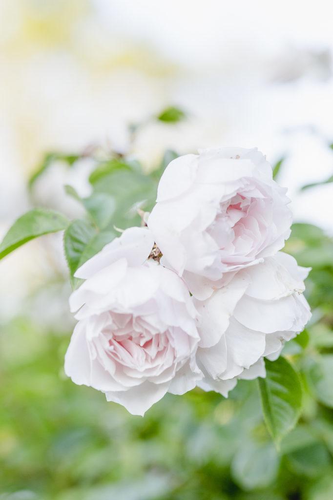 Rosenzeit, Pomponetti