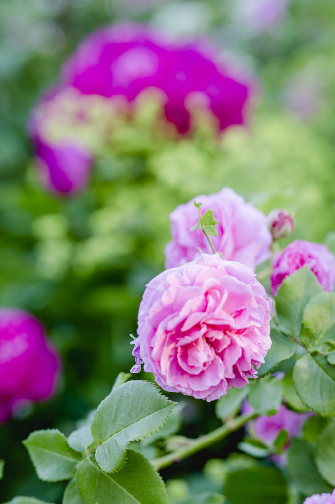 Mary Rose, englische Rose