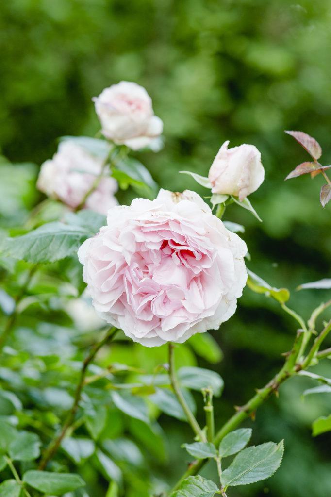 Wedgwood Rose, David Austin