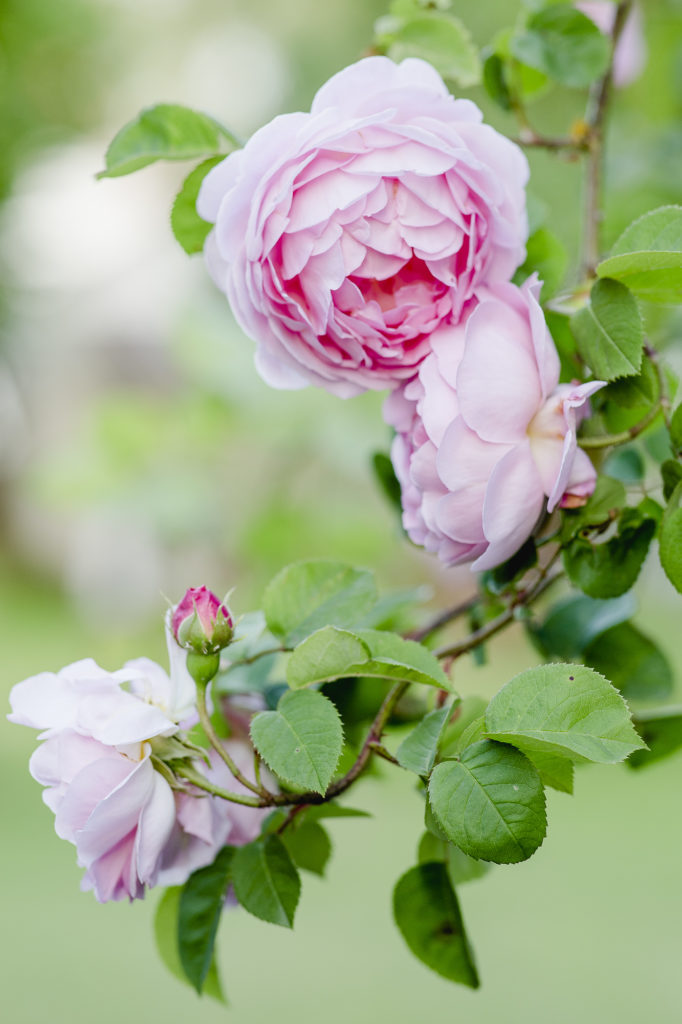 Constance Spry Rose, Pomponetti