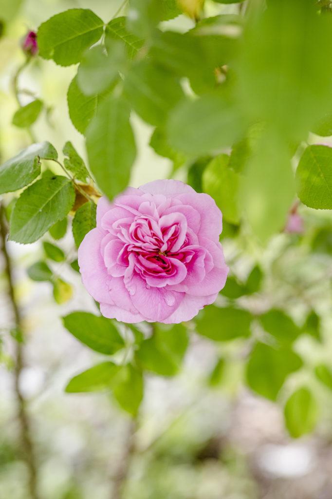 Rosen im Garten, Gertrude Jekyll, Pomponetti