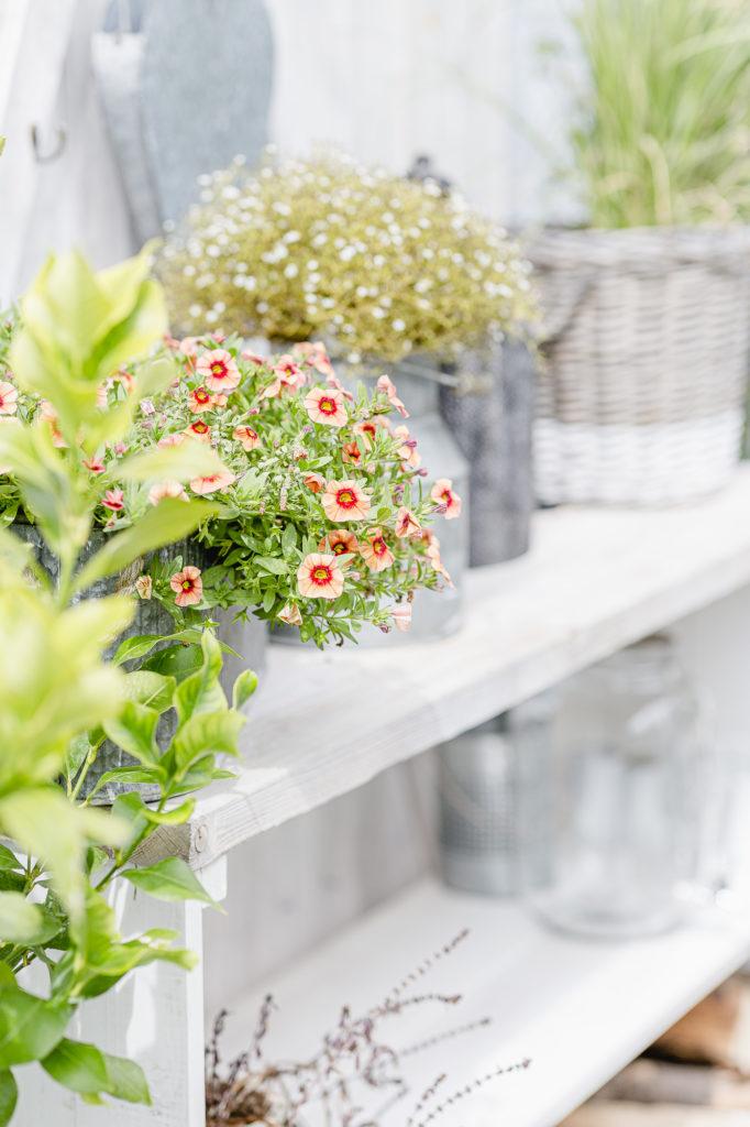 Gartenglück im August, Pomponetti