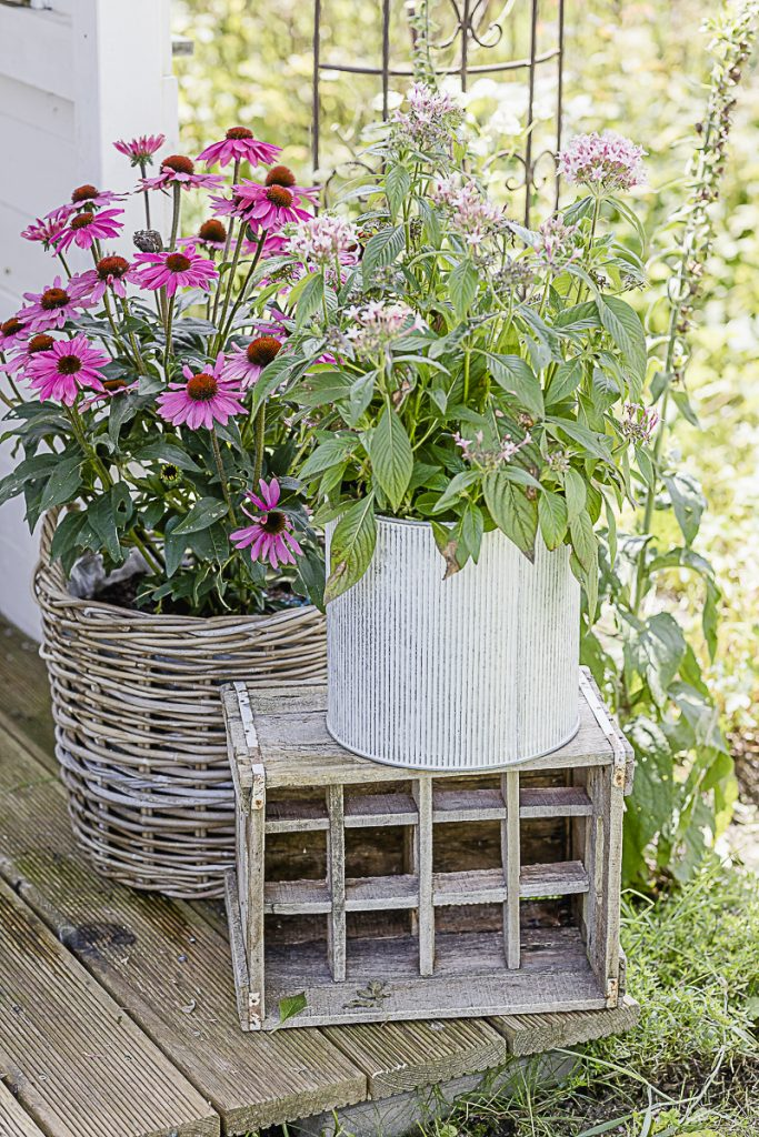 Spätsommerpflanzen, Pomponetti